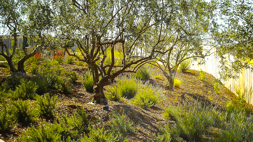Madrone landscapes born to plant for San luis obispo botanical garden